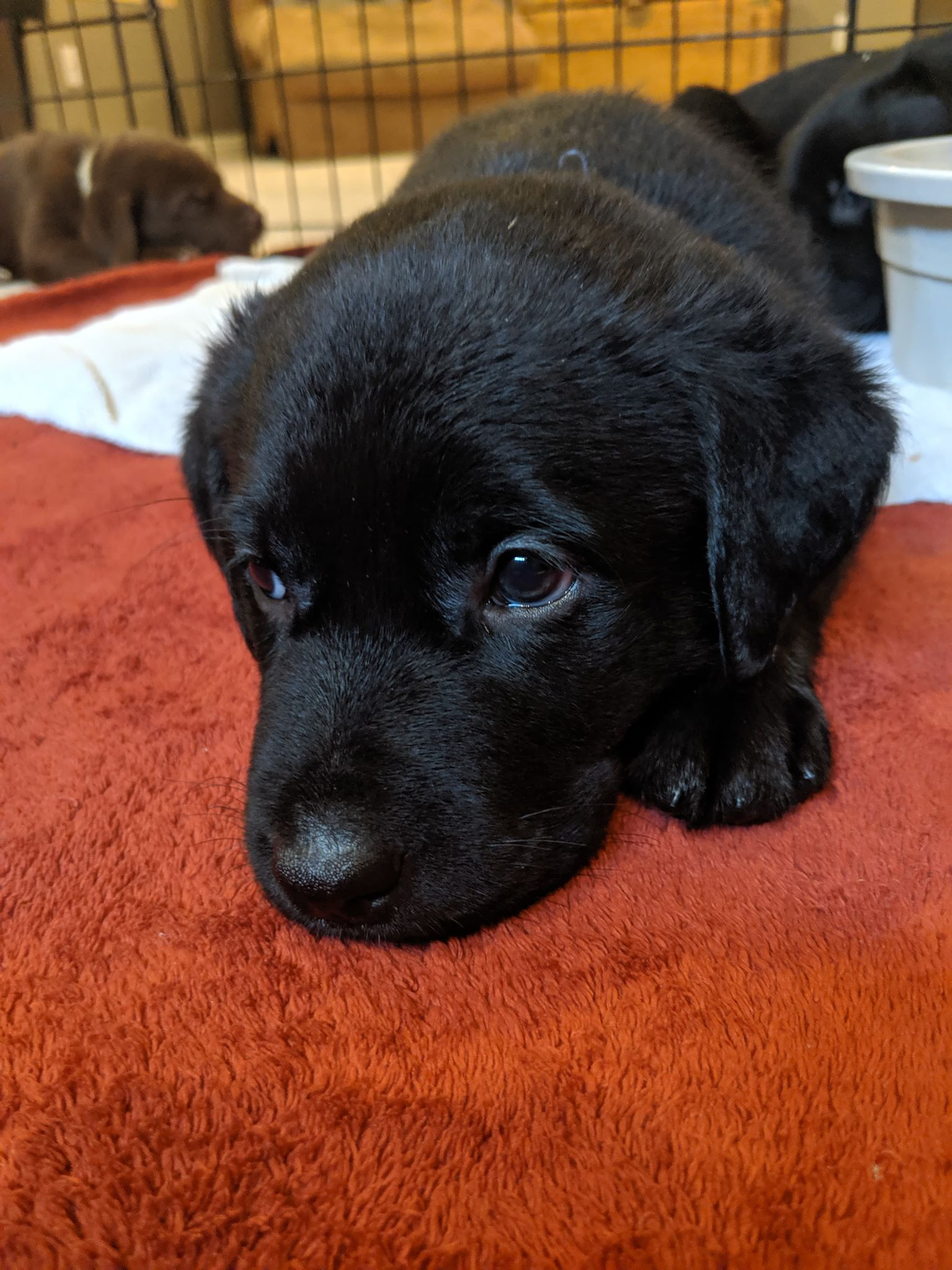 Available Puppies – Misty Creek Dog Rescue